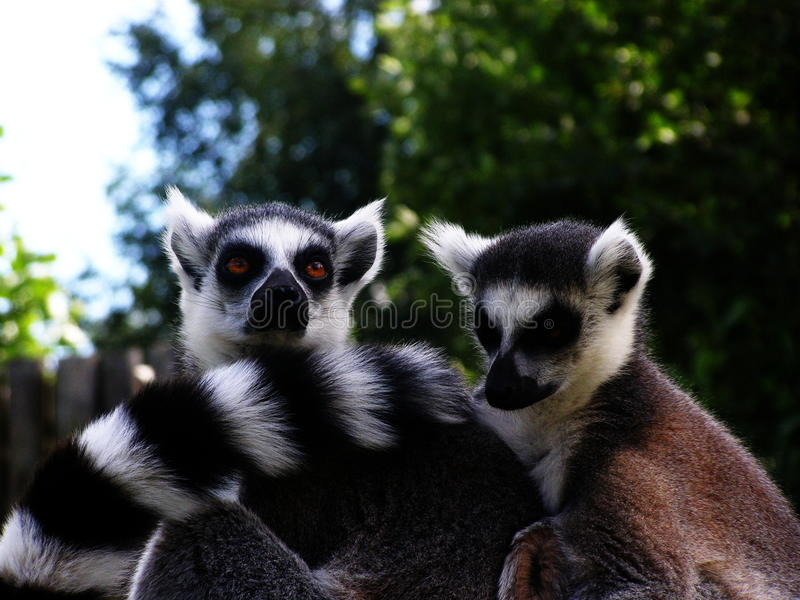 Two ring tailed lemurs. Two lovely little ring tailed lemurs royalty free stock photos