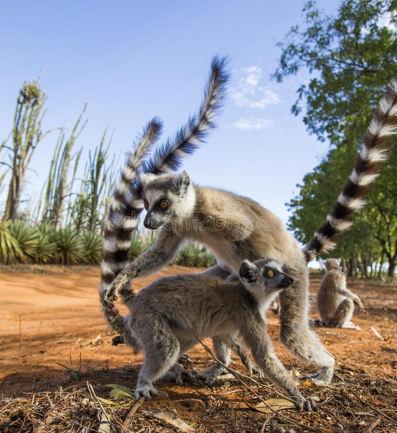 Two ring-tailed lemurs playing with each other. Madagascar. stock images