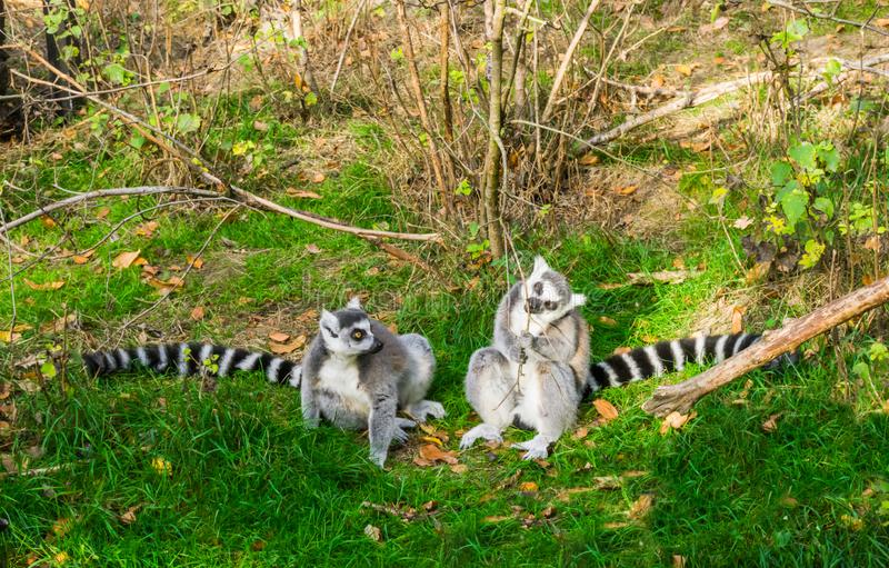 Two ring tailed lemurs sitting together in the grass, one gnawing on a branch, endangered tropical monkey specie from madagascar. Some ring tailed lemurs sitting stock image
