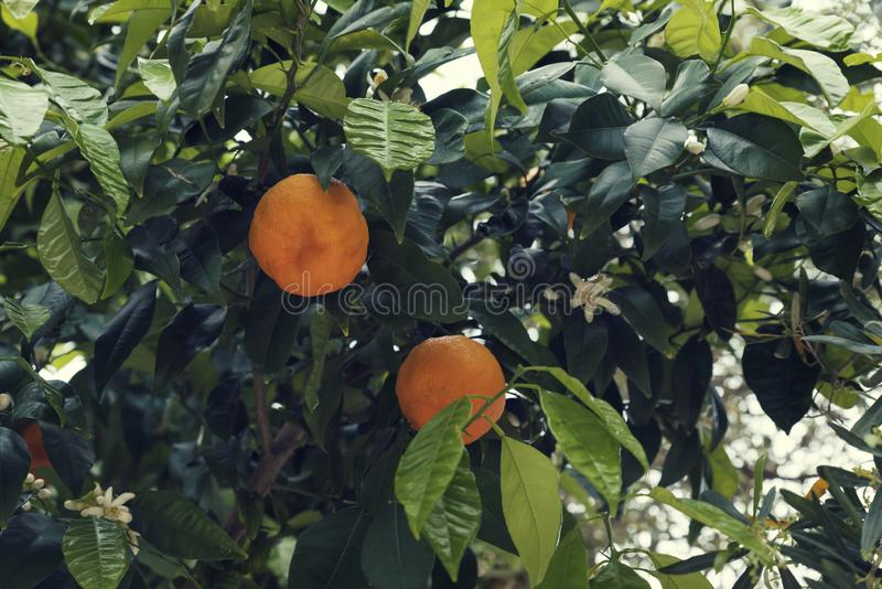 Two ripe bitter oranges fruit on a tree stock photography