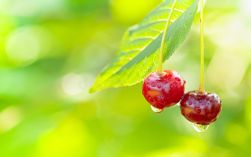 Two ripe cherries in raindrops on branch with leaf on background of natural bokeh royalty free stock images