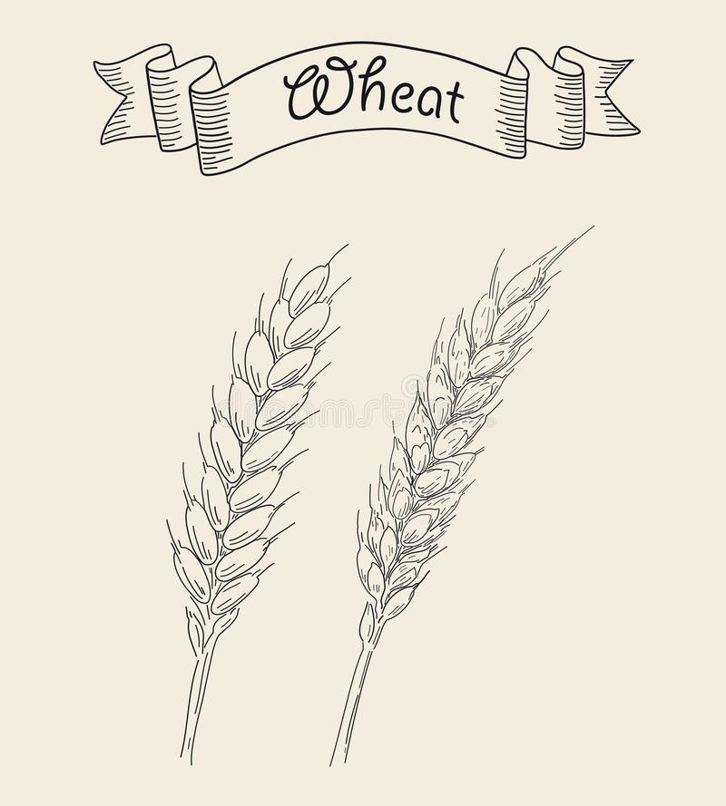 Two ripe ears of wheat. Sketched hand drawn vector illustration. Vintage design with natural and healthful food. Line art style royalty free illustration