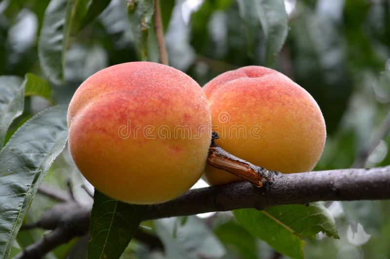 Two ripe red-orange peaches on a branch shot closeup. stock images