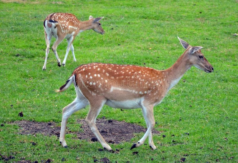 Two Roe-deer in the meadow stock photography