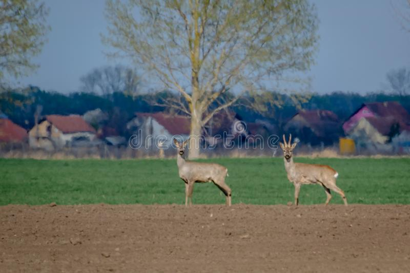 Two roe deer standing on agricultural crop field. Capreolus capreolus. stock images