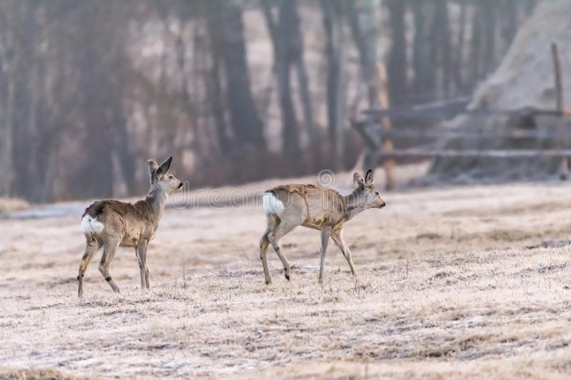 Two roe deers near a village royalty free stock photo
