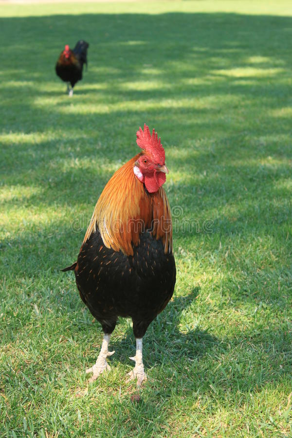 Two roosters. In a garden royalty free stock photo