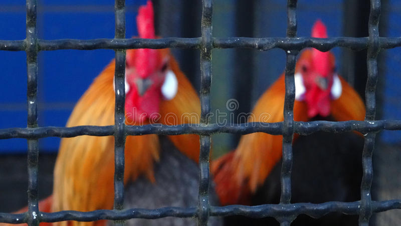 Two roosters behind a fench. Two blured roosters behind bars of an aviary royalty free stock images