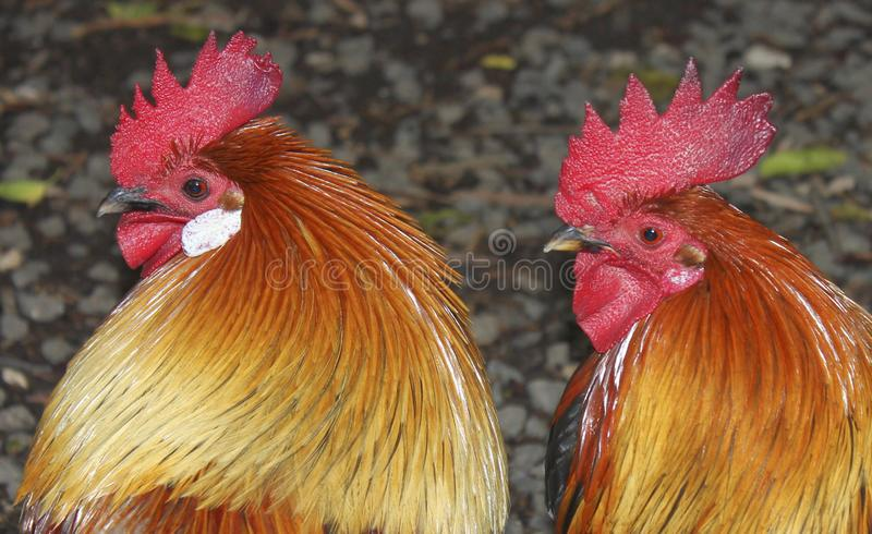 Two Roosters on Display in Israel. These roosters with their bright red combs showing were found in Northern Israel in the Galilee Region. They were running royalty free stock photo