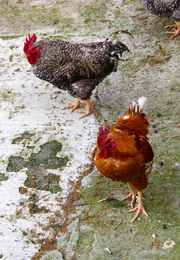 Two roosters in a farm. Two roosters, one in brown color and another with black and white feathers in a farm in mexico stock photo
