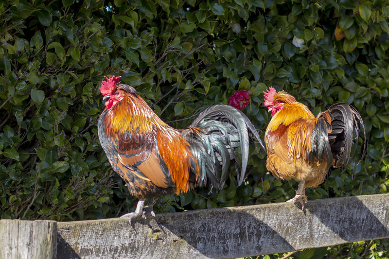 Two roosters. On a fence royalty free stock image