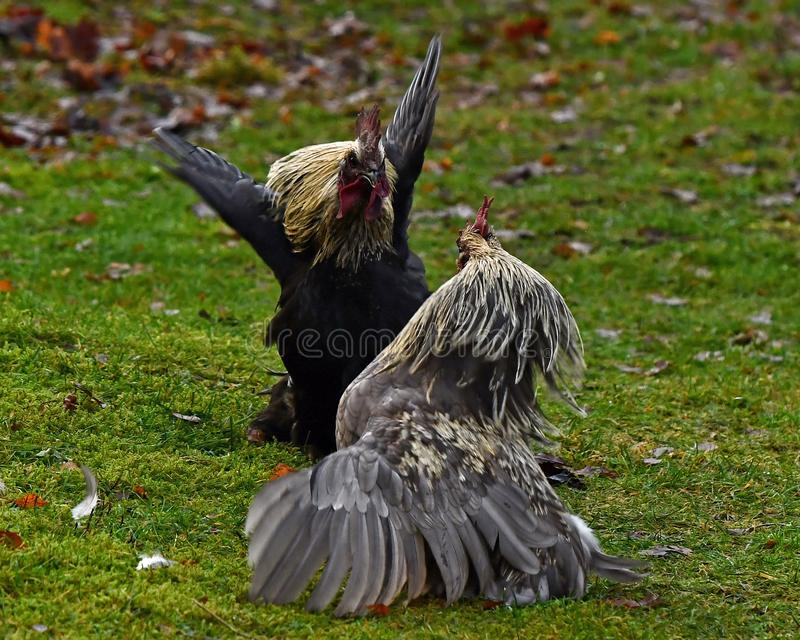 Two roosters in fight in free range farm. Two roosters of an old culture breed Hedemora from Sweden, start a fight in free range farm stock photo