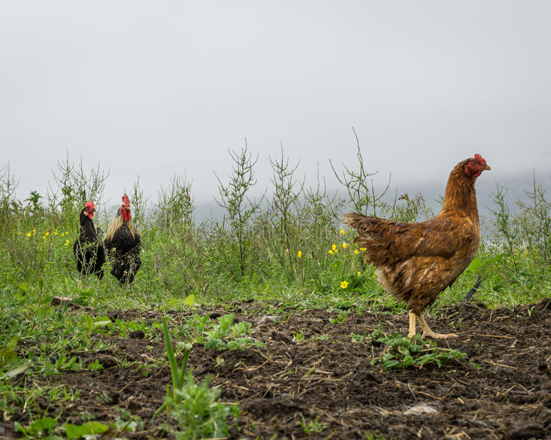 Two roosters looking a a chicken. A chicken walking away. Two roosters looking at her royalty free stock photography