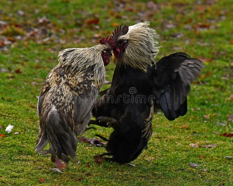 Two roosters in fight in free range farm. Two roosters of an old culture breed Hedemora from Sweden, start a fight in free range farm royalty free stock photos