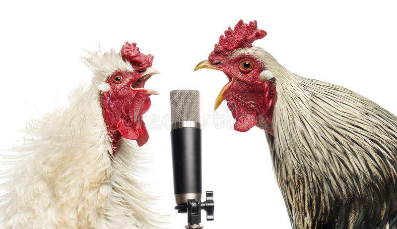 Two roosters singing at a microphone, isolated. On white