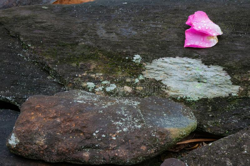 Two rose petals with dew drops on a stone and moss background stock photos