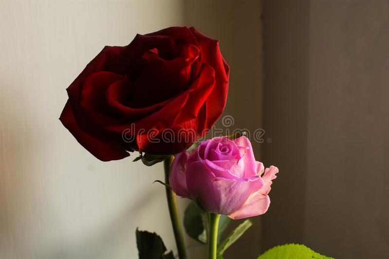 two roses in bloom with a pleasant play of shadows stock photography