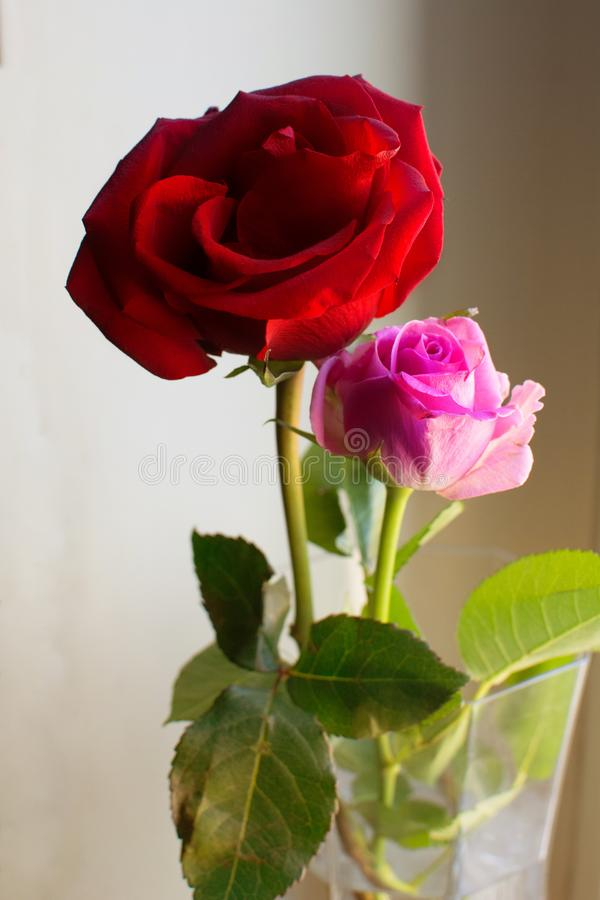 Two roses in blossom in a pot whith beautiful light stock photo