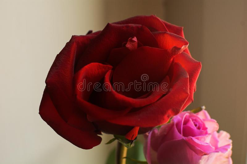 Two roses in bloom, one red rose and one pink rose royalty free stock photo
