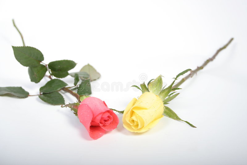 Two roses01 royalty free stock image