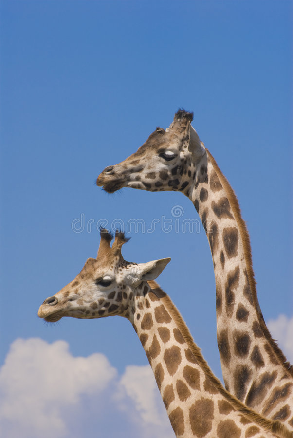 Two Rothschild Giraffes. (Giraffa Camelopardalis Rothschildi stock images