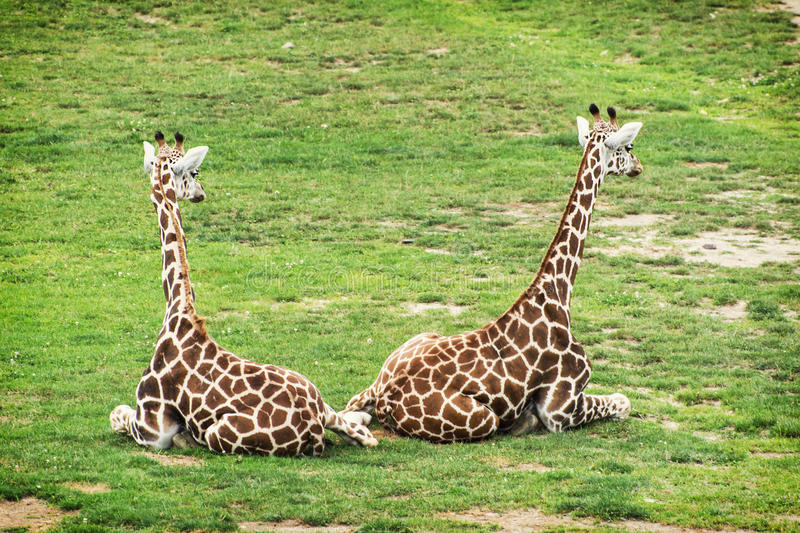 Two Rothschild giraffes. Resting in the grass royalty free stock image