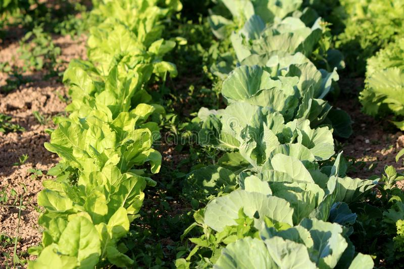 Two rows of densely planted light green Lettuce or Lactuca sativa and Cabbage or Headed cabbage leafy green annual vegetable. Plants planted in local urban royalty free stock photos