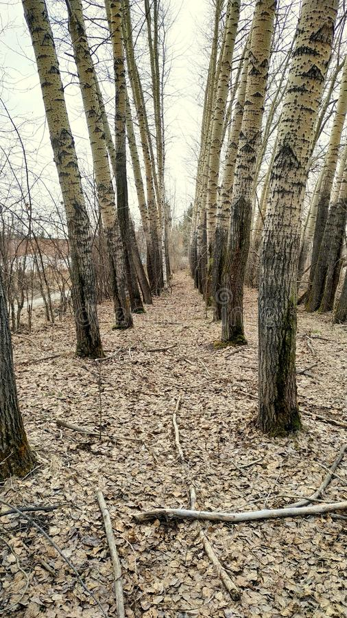 Two rows of poplars form an alley in the forest. Close-up stock photography