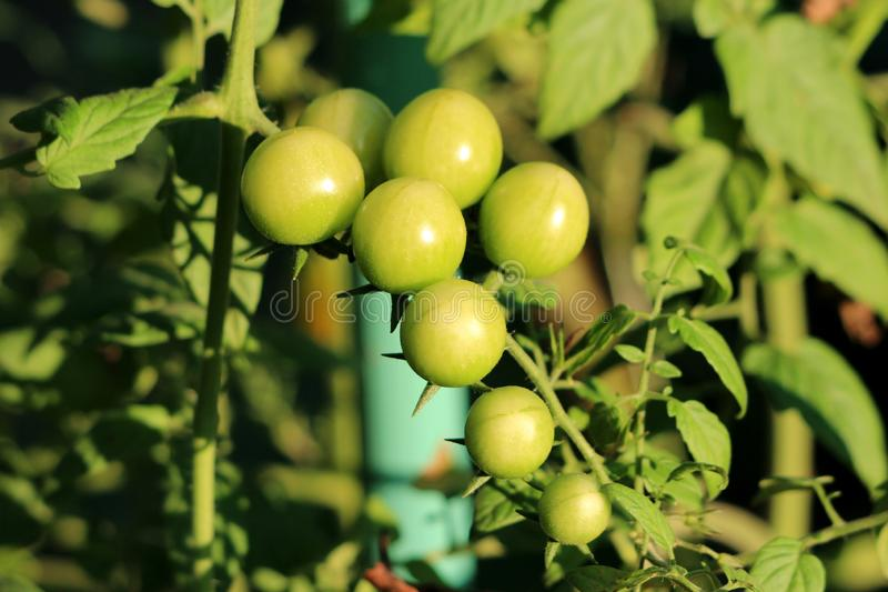 Two rows of small fresh organic yellow to light green cherry tomatoes growing from single plant in local home garden. Surrounded with leaves on warm sunny royalty free stock photos