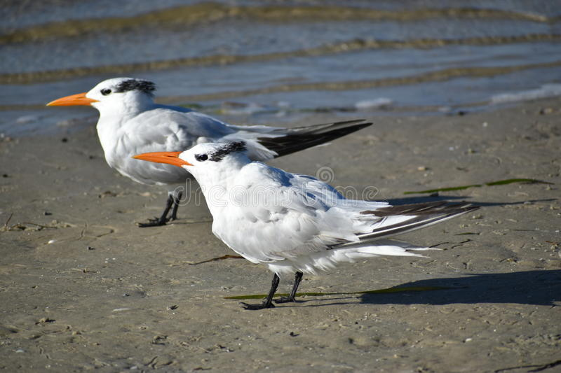 Two Royal Terns On The Beach royalty free stock photos