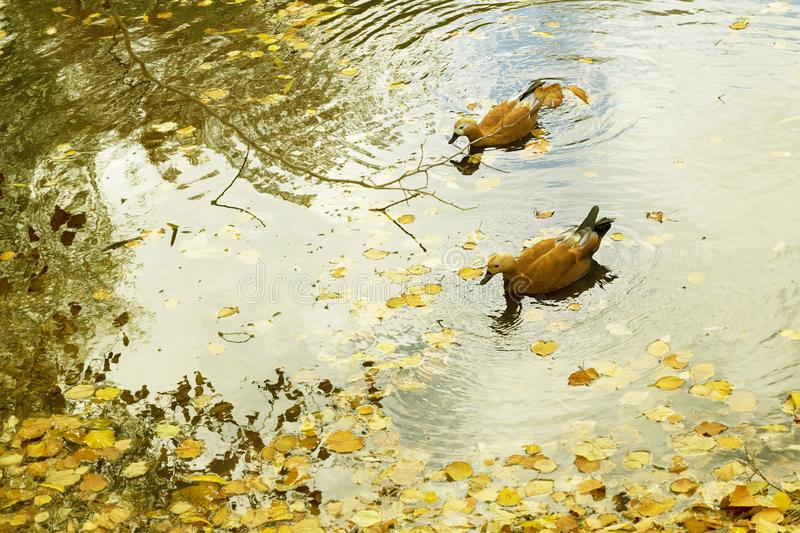 Two Ruddy Shelduck, Tadorna ferruginea, swim in water on pond in autumn park with yellow leaves. Horizontal with copy stock photo