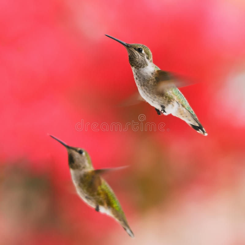 Two Rufous Hummingbirds stock images