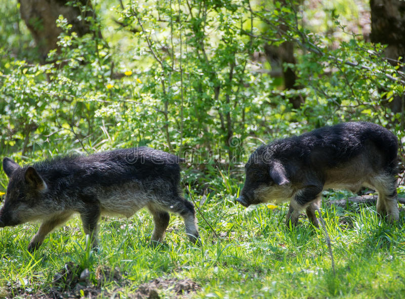 Two running black hairy pigs breed Hungarian Mangalica royalty free stock image