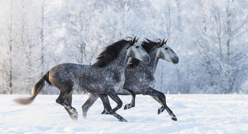 Two running grey Purebred Spanish horses. Two galloping dapple-grey Purebred Spanish horses royalty free stock photos