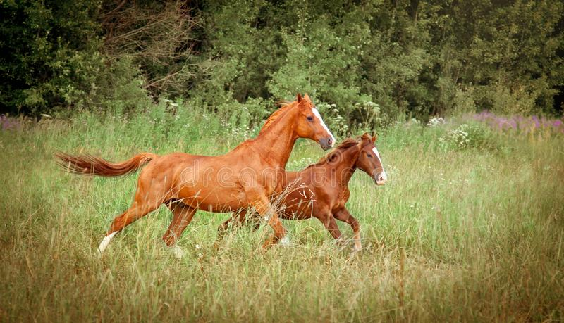 Two running horses, mare and foal stock images