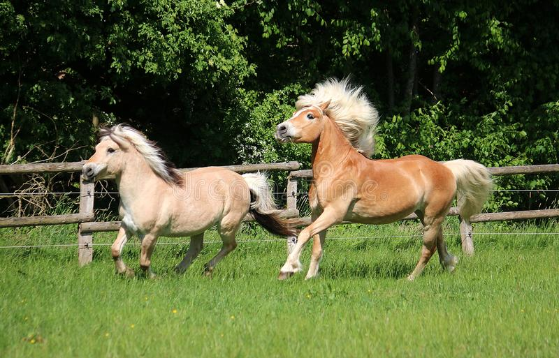 Two beautiful horses are running on the paddock in the sunshine stock photo