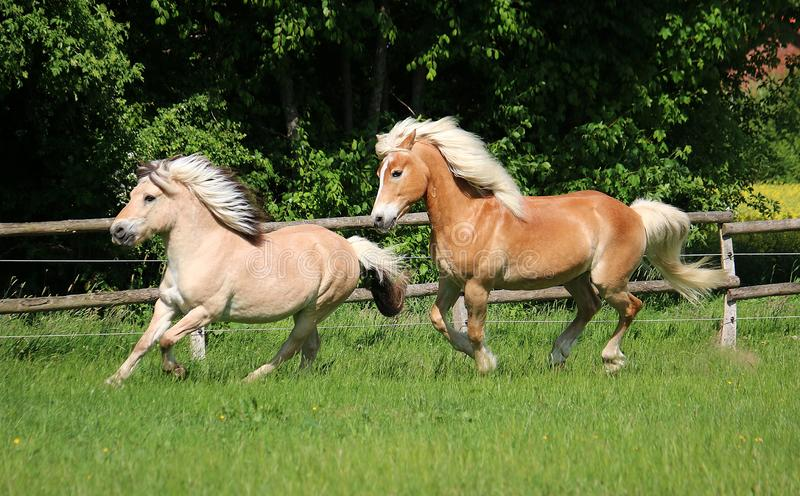 Two beautiful horses are running on the paddock in the sunshine stock image