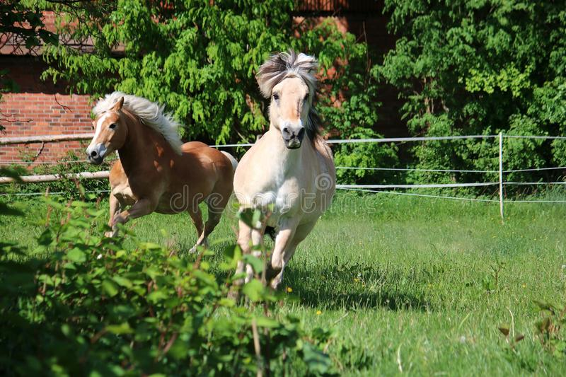 Two beautiful horses are running on the paddock in the sunshine stock photography