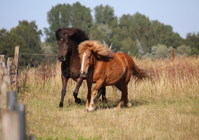 Two running icelandic horses royalty free stock image