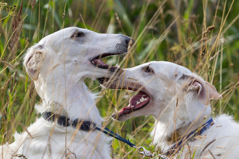 Download Two russian hound dogs stock image. Image of field, nature - 25924593