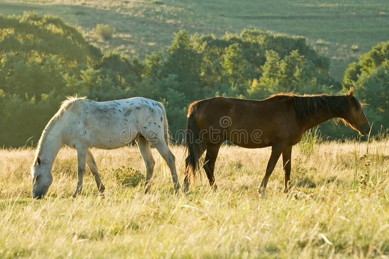 Two rustlers Horses grazing royalty free stock photos