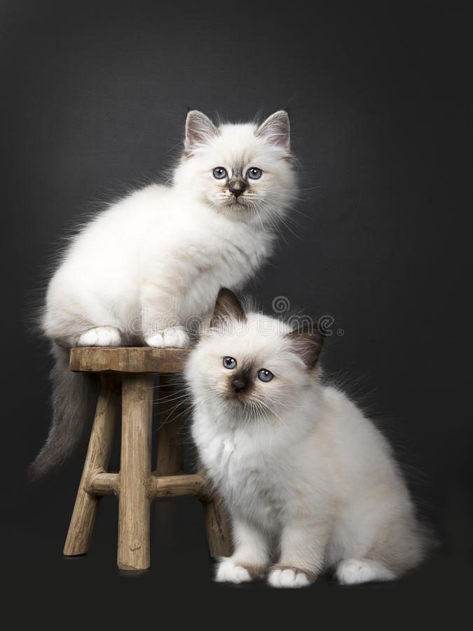 Two Sacred Birman kittens on a wooden stool. Two Sacred Birman kittens on and aroundh a wooden stool isolated on black background facing the camera stock image