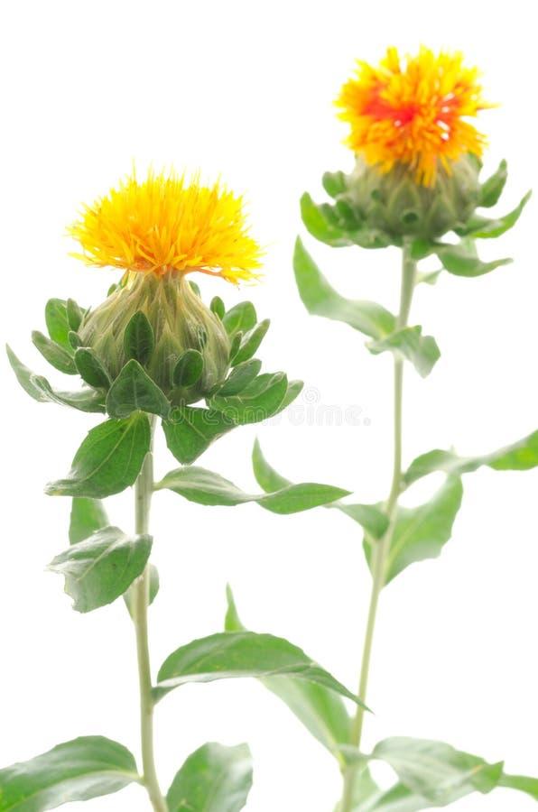 Download Two safflower flowers stock photo. Image of arrangement - 25808858