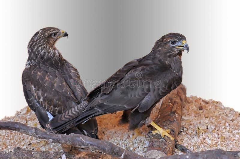 Two Saker Falcon stock image