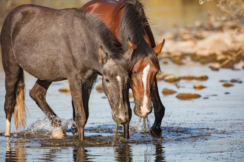 Two wild horses eating eel grass royalty free stock photos