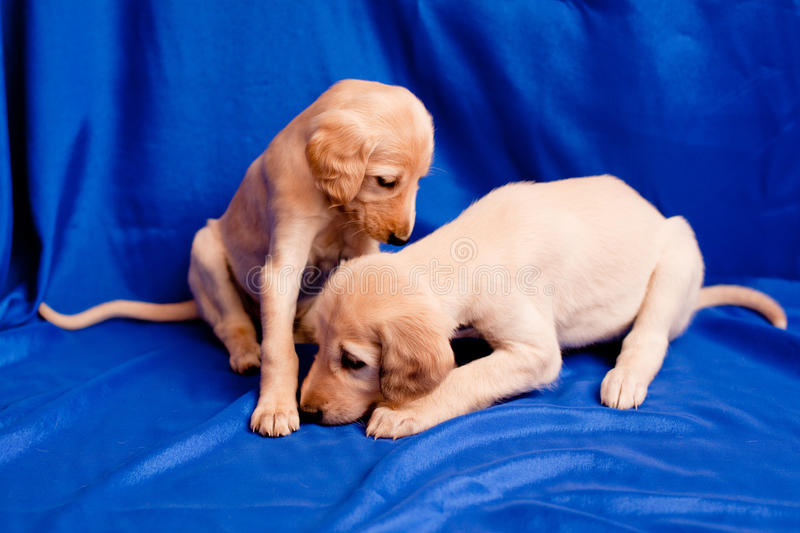Two saluki pups. Two white saluki pups on blue background royalty free stock images