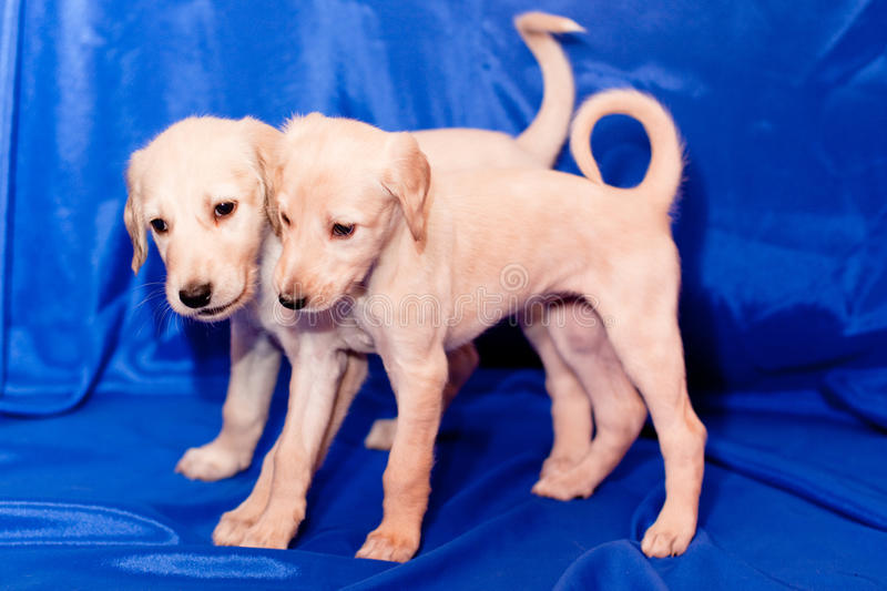 Two saluki pups. Two white saluki pups on blue background royalty free stock photo