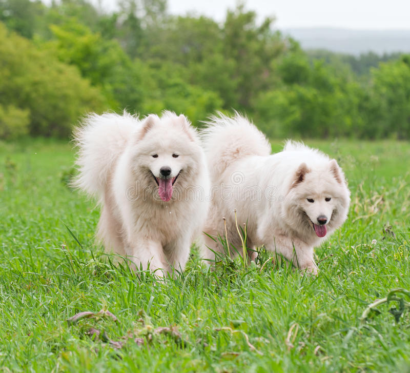 Two samoyed on a meadow stock photo