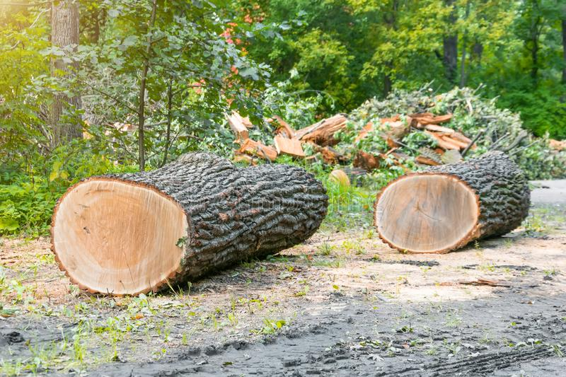 Two sawn trunks of trees at the edge of the forest, felling. royalty free stock images