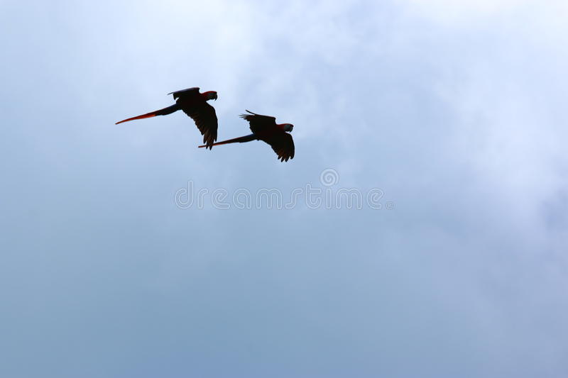 Two Scarlet Macaws in Flight stock images